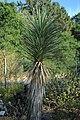 Young Yucca brevifolia at Regional Parks Botanic Garden closeup.jpg