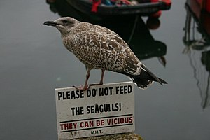 English: Young seagull with a sense of humour ...