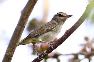Yucatan vireo Species of bird