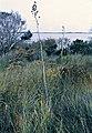 Yucca filamentosa fh 1182.1 NC B.jpg