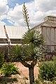 Yucca gloriosa (Yucca) - 80.jpg