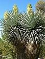 Yucca rigida 1.jpg