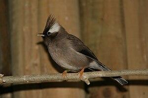 White-eye - White-collared yuhina (Yuhina diademata), a close relative of the white-eyes