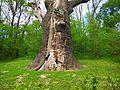 Zalizniak oak tree 04.jpg