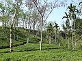 Zareen Tea Estate Sylhet Division - Bangladesh.jpg