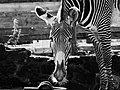 Zebra (18355075).jpeg