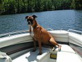 Zelda the boxer dog on a boat in Lake Lanier, South Carolina (9 September 2002).jpg