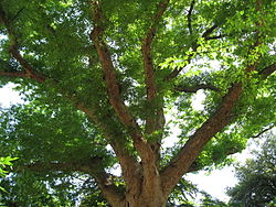 Zelkova serrata 02 by Line1.jpg