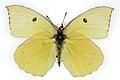 Zerene eurydice f.jpg