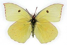 Image Result For California Dogfaceerfly