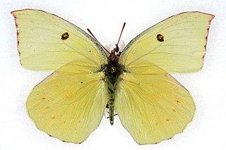 <i>Zerene eurydice</i> species of insect