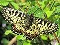 Zerinthia polyxena (5).jpg