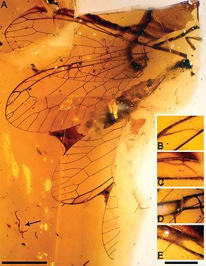 Snakefly - Necroraphidia