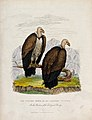 Zoological Society of London; two condor minor, or ash-colou Wellcome V0023119.jpg