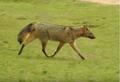 Zorros ( Cerdocyon thous ) en el Palmar, Entre Ríos, Argentina 4.png