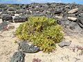 Zygophyllum fontanesii Lanzarote.JPG