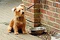 """""""Norbert"""" the Norfolk terrier - Flickr - pete. ^hwcp.jpg"""