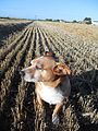 """ 12 - ITALY - campo di grano e cagnolino - dog in a wheat fields profile.JPG"