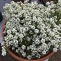 'Giga White' alyssum IMG 5043.jpg