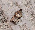 (0974) Argyrotaenia ljungiana - Flickr - Bennyboymothman (1).jpg