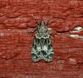 (1344) Eudonia mercurella - Flickr - Bennyboymothman (2).jpg