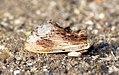 (2009) Maple Prominent (Ptilodon cucullina) (5970749097).jpg