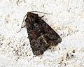 (2339) Tawny Marbled Minor (Oligia latruncula) - GEN DET (9095567854).jpg