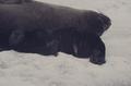 (Jubany) Crías de Lobos Marinos (2).png