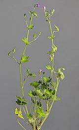 (MHNT) Geranium molle - Habit.jpg