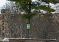 «Сосна Веймутова» в Чорткові P1190355.jpg