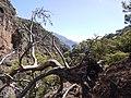 Δέντρο μέσα στο φαράγγι της Λισού.jpg