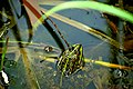 Вербне озеро Жаба озерна DSC 0086.jpg