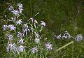 Гвоздика пышная - Dianthus superbus (14761213366).jpg
