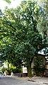 Дуб крупноплідний м. Чернівці, вул. 28 Червня, 71.jpg