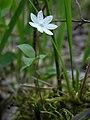 Одинарник європейський (Trientalis europaea) в заказнику Волосне.jpg