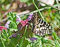 Поликсена - Zerynthia polyxena - Southern festoon - Osterluzeifalter (34395420835).jpg