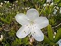 Рододендрон Шлиппенбаха, белоцветковая форма (2).jpg