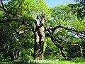 Розсошенське лісництво Козацький дуб 01.JPG