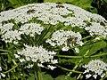 Сирецький дендропарк.Флора та бджоли 01.jpg