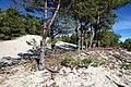 Сосновый лес на Куршской косе.jpg