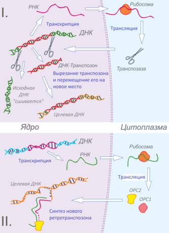 ДНК-транспозоны[править