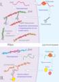 Схема передвижения транспозонов.png