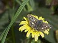 Толстоголовка арморикская (земляничная ) - Pyrgus armoricanus - Oberthür's grizzled skipper - Zweibrütiger Würfel-Dickkopffalter (21942183269).jpg