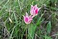 Тюльпаны в оренбургских степях 1.jpg