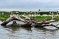 Царство птахів на Дністровському лимані (рожеві пелікани, мартини).jpg