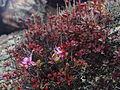 Цветы Прибайкалья 1.JPG
