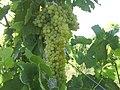 انگور نمونه ملکان - panoramio.jpg