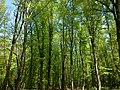 بهار زیبای جنگل باغو - panoramio.jpg