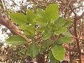 কাঁটা মান্দারের পাতা সাভার erythrina fusca.jpg