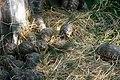 ডুলাহাজারা সাফারি পার্কে কচ্ছপ ২.jpg